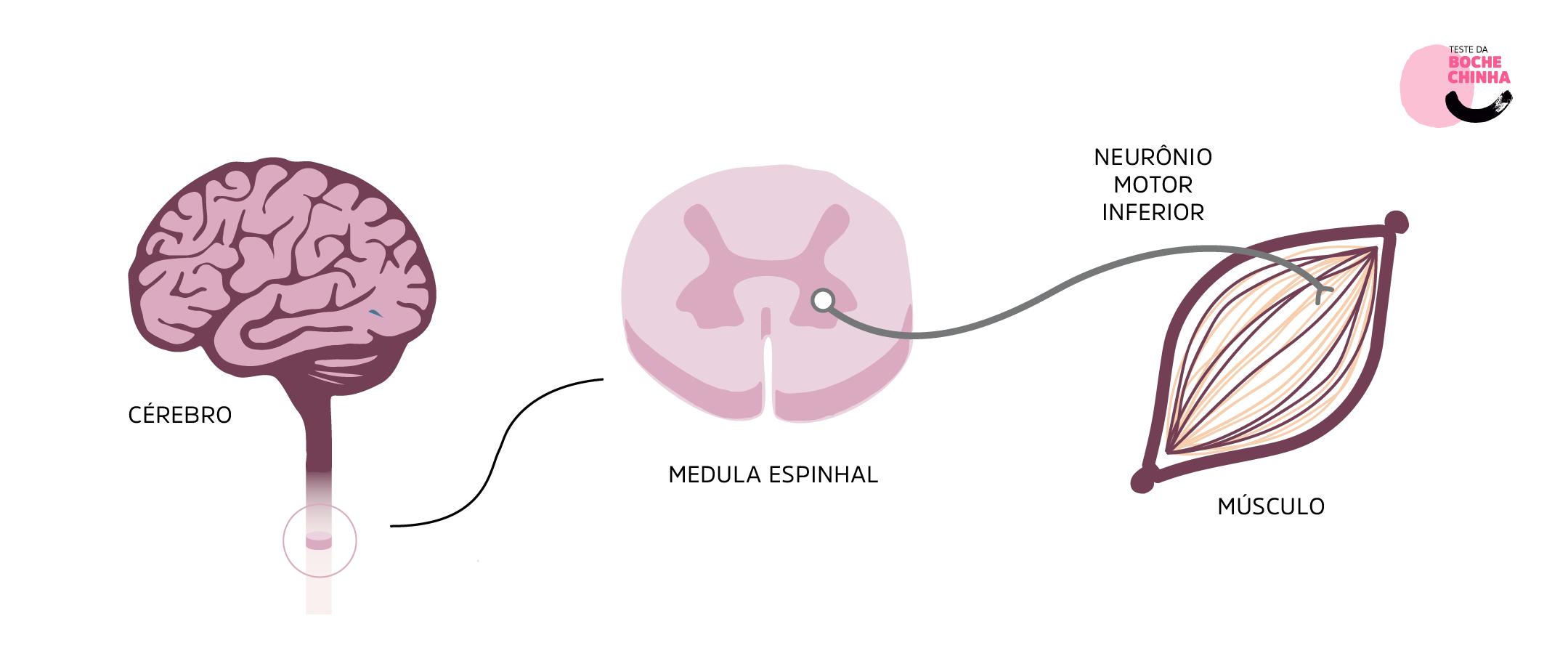 Figura 1. Ilustração representando a medula espinhal e seus neurônios motores. ame